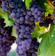 dimagrire con l'uva def