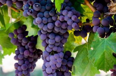 Dimagrire con i benefici dell'Uva