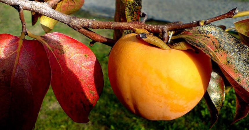 Il cachi albero delle sette virt for Albero di cachi