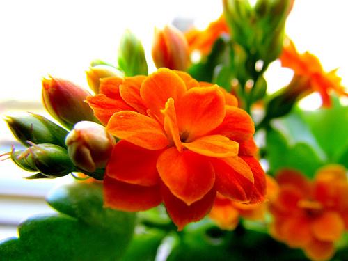 fiori d'arancio